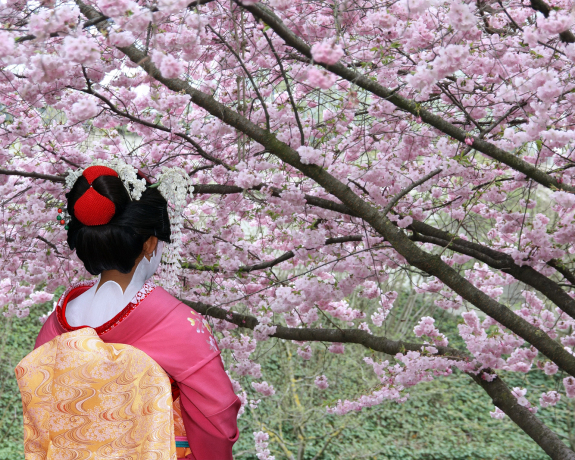 bigstock-Geisha-and-blooming-Sakura-tre-53288257